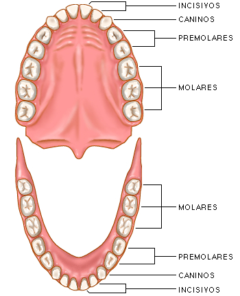 Dentadura dieta macrobiótica